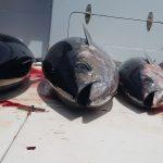 Tuna bite in Quepos Costa Rica