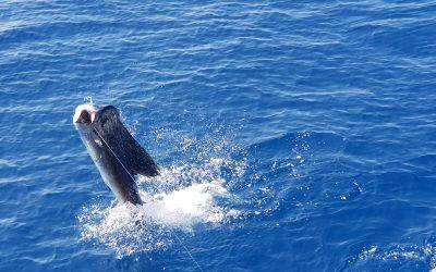 Sailfish 30 miles offshore from Quepos, Costa Rica