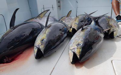 June Yellowfin Tuna Fishing, Quepos, Costa Rica