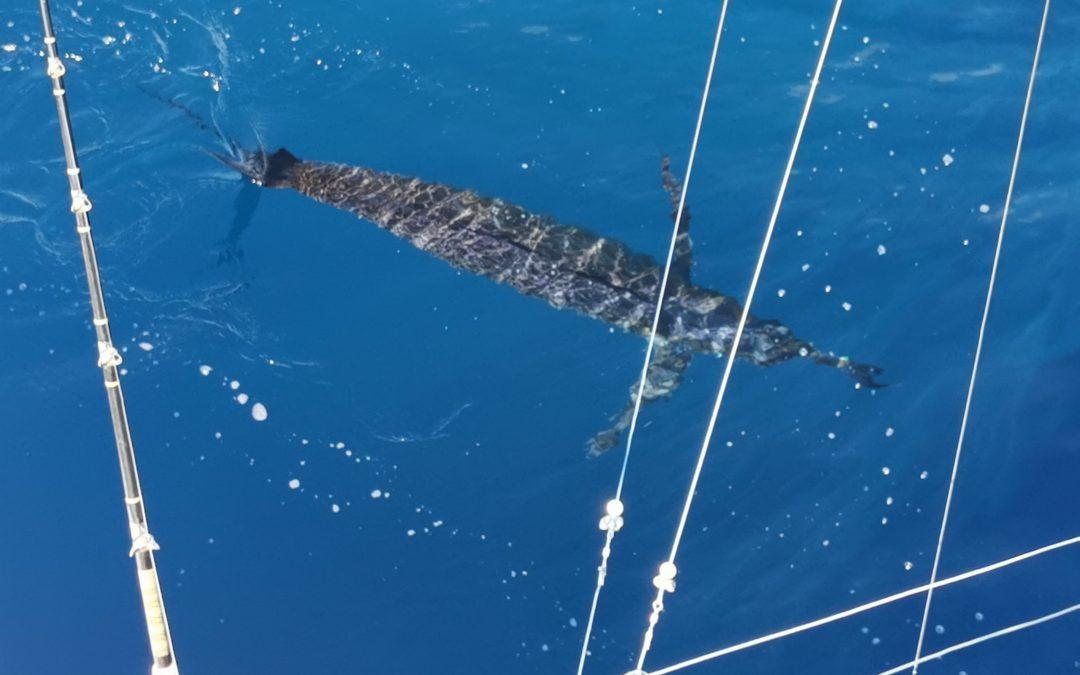 January 15, 2020 – Marlin Fishing Quepos Costa Rica