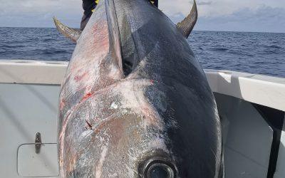 Massive Tuna