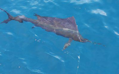 Summer Sailfish in Costa Rica