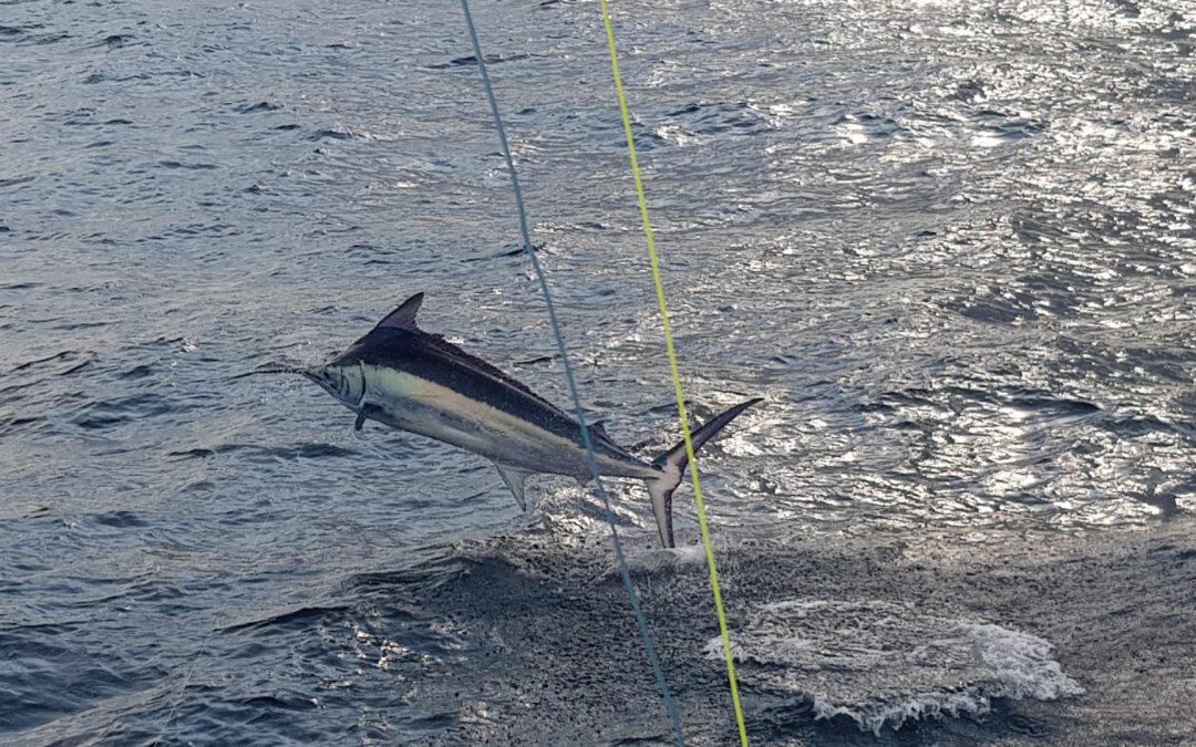 April 15 Drake Bay Black Marlin