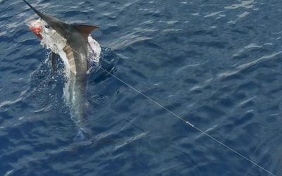 Marlin and Sailfish with Big Eye 2